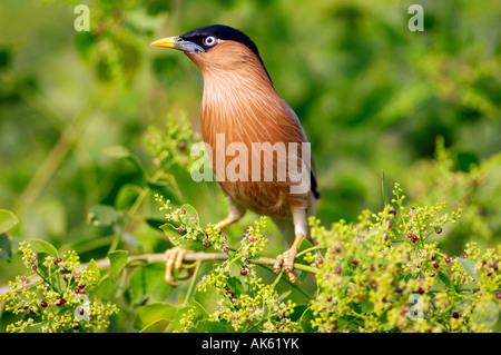 Brahminy Myna - Stock Photo