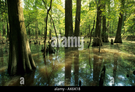 bald cypresses in a bayou at Sabine river - Stock Photo