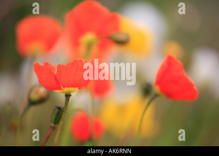 Iceland Poppy, Poppies, Papaver croceum syn. P. nudicaule, Island-Mohn - Stock Photo