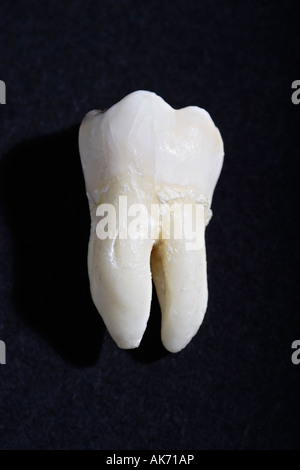 Single wisdom tooth on black background - Stock Photo