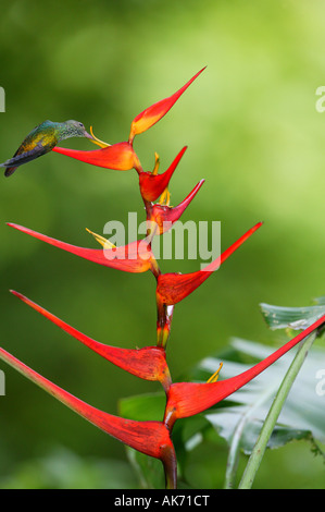 White-vented Plumeleteer feeding on red Heliconia flower in Metropolitan park near Panama city, Republic of Panama. - Stock Photo