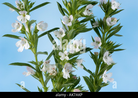 Winter Savory - Stock Photo