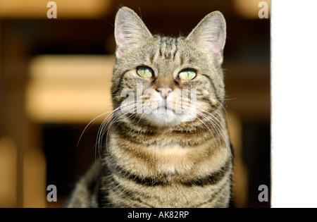 Pet cat, London, United Kingdom - Stock Photo