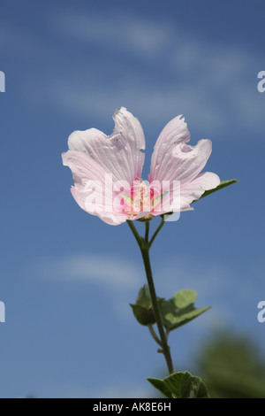 Bush mallow, bush mallow (Lavatera olbia), flower - Stock Photo