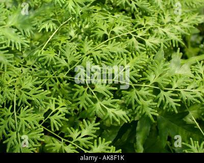 Japanese climbing fern (Lygodium japonicum), fertile leaf - Stock Photo