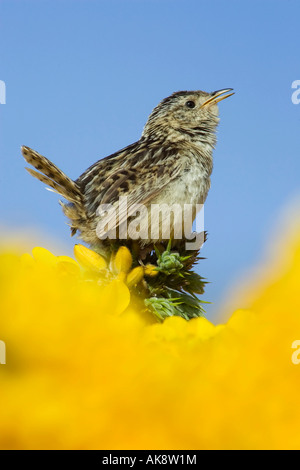 An adult alert and singing male Grass Wren on the Falkland Islands - Stock Photo