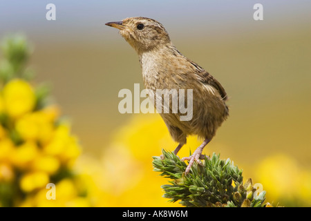 An adult alert male Grass Wren on the Falkland Islands - Stock Photo