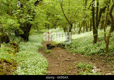 Wild Garlic, allium ursinum in Cheddar Wood - Stock Photo