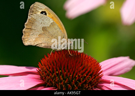 Meadow Brown Butterfly - Stock Photo