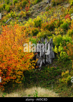Rejuvenation at Mount St Helens National Volcanic Monument WA Coldwater Lake - Stock Photo