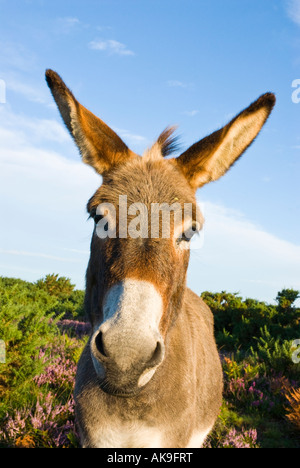 A donkey in the New Forest National Park, Hampshire, England - Stock Photo