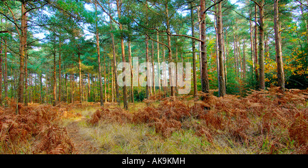 Panoramic format autumnal woodland scene with golden brown ferns and partially bare trees - Stock Photo
