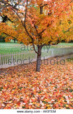 Maple Trees in Fall Nevada City California - Stock Photo