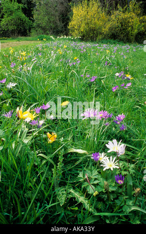 Ashton Wold Peterborough Miriam Rothschild s garden wild flowers and bulbs in lawn in Spring Anemone blanda - Stock Photo