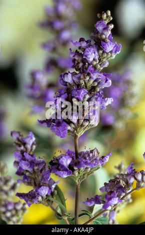 chaste tree Vitex agnus castus - Stock Photo