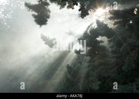 Beams of sunlight coming through tree branches - Stock Photo