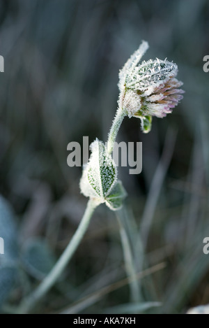 Frost covered clover - Stock Photo