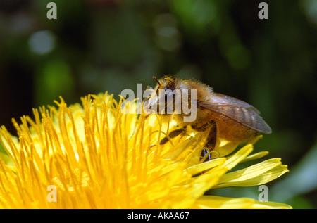 Closeup of bee on dandelion flower