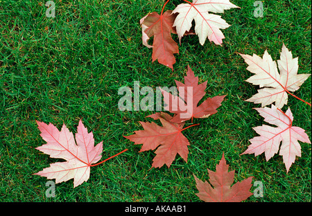 Red maple leaves on green grass - Stock Photo