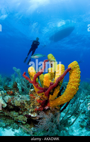 Colorful Yellow branching sponges mark a coral reef in the Turks & Caicos Islands. - Stock Photo