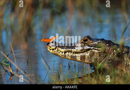 Yacare Caiman in water with Julia Butterfly on nose / caiman yacare - Stock Photo