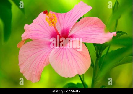 hibiscus botany - Stock Photo