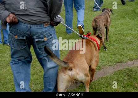 Staffordshire bull terrier with chain - Stock Photo