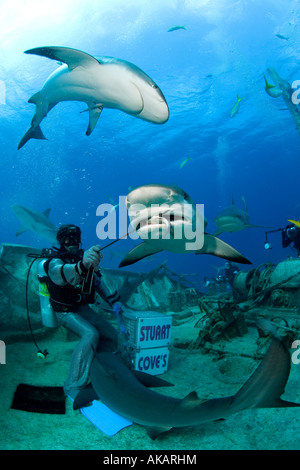 Shark wrangler, protected by chain mail suit, hand feeds bait to a Caribbean reef shark. - Stock Photo