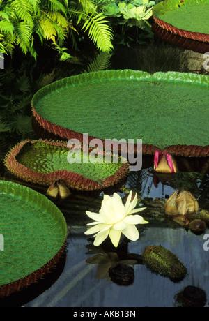 Victoria amazonica 'Longwood Hybrid' Amazon water lily - Stock Photo