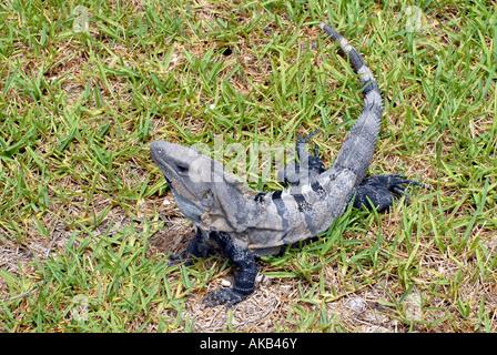 A Ctenosaura Spiny Tailed Iguana on green grass - Stock Photo