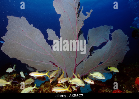 It has taken years of growth for this magnificent sea fan to reach such grand proportions - Stock Photo