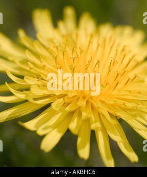 British Wildflowers. Dandelion, named from a corruption from the French of 'dent de lion', tooth of the lion. - Stock Photo