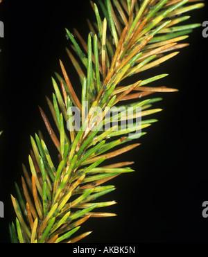 Green spruce aphid Elatobium abietinum infestation and damage on Norway spruce needles - Stock Photo