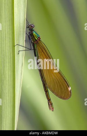 beautiful demoiselle Calopteryx virgo female - Stock Photo