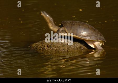 Indian Flapshell turtle (Lissemys punctata). Gujarat. W INDIA. - Stock Photo