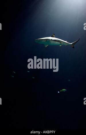 Grey reef shark (Carcharhinus amblyrhynchus) swims in the Hagenbeck Tropical Aquarium in Hamburg, Germany. - Stock Photo