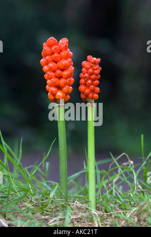 lords and ladies Arum maculatum berries in autumn - Stock Photo