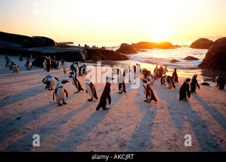 Jackass penguins on the beach at sunset The Boulders bird sanctuary near Simonstown West Cape South Africa - Stock Photo