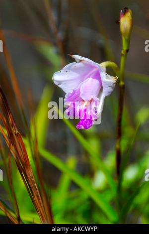 Wild orchid flower near the steam vents on the ridge of Kilauea Caldera Hawaii Volcanoes National Park Big Island - Stock Photo