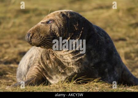 Bull Atlantic Grey Seal lying on grass - Stock Photo