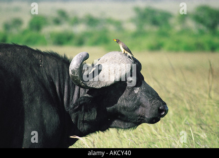 Close up portrait of African Cape Buffalo with Yellow Billed Ox pecker on its horns