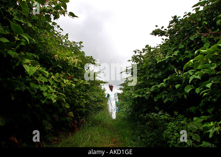 A pest eradication expert prepares to poison Japanese knotweed in Cornwall England UK - Stock Photo