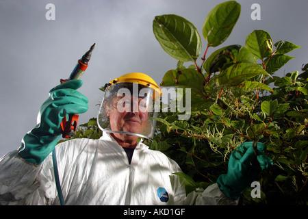 A pest eradication expert poisons Japanese knotweed in Cornwall England UK - Stock Photo