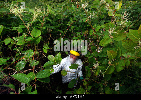 A pest eradication expert poisons Japanese knotweed in Cornwall England UK - Stock Photo