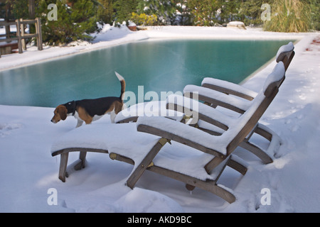 ... Snow Covered Lawn Chairs By Swimming Pool And A Beagle   Stock Photo
