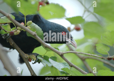 Male Asian Koel ( Eudynamys scolopacea) in a park in the centre of Bangalore, India - Stock Photo