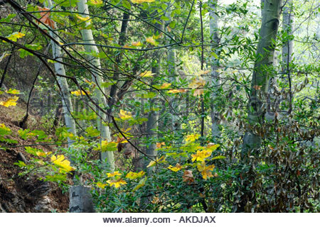 Big Santa Anita Canyon Fall Foliage San Gabriel Mountains California - Stock Photo
