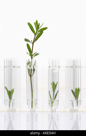 Seedlings growing in test tubes, one larger plant contrasted with three smaller ones - Stock Photo
