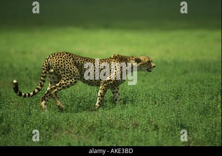 Adult male cheetah starting to stalk towards prey Serengeti National Park Tanzania East Africa - Stock Photo
