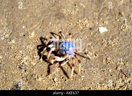 Soldier Crab Mictyris longicarpus on a beach near Sydney - Stock Photo